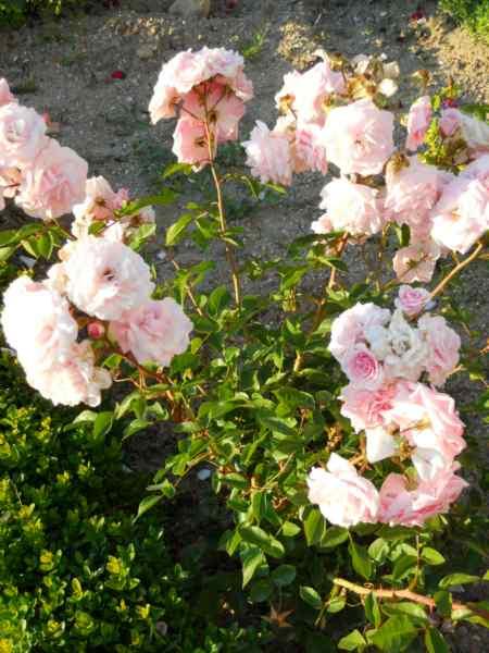 Rosa centifolia v 3
