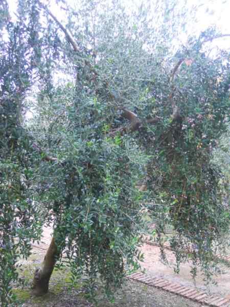 Olea europaea 'Sevillenca' v 2