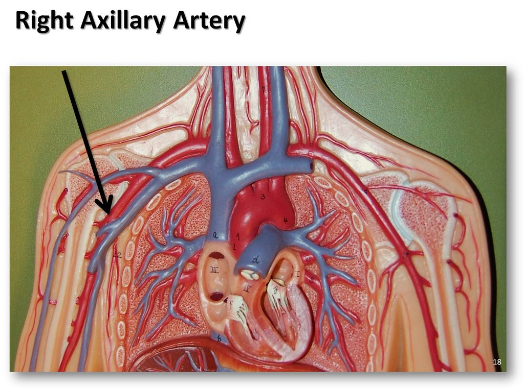 Right Axillary Artery The Anatomy Of The Arteries Visual Flickr