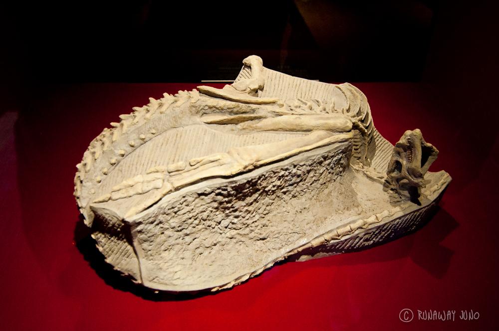 Parascapular_Spine_of_Gigantspinosaurus_Sichuanensis_Zigong_China