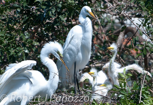 bird birds chick chicks egret greategret rookery goldwildlife amazingwildlifephotography veniceareaaudubonsocietyrookery