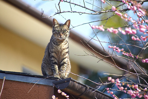 花見猫 Blossom viewing cat 3