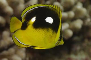 Molokai: Fourspot Butterflyfish