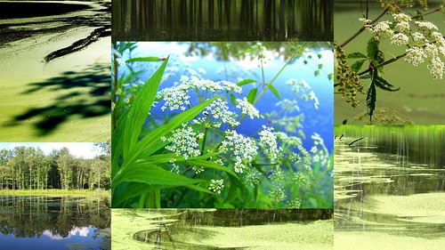 toxic collage pond ct edible easthaddam waterhemlock moodus wildparsnip connecicut