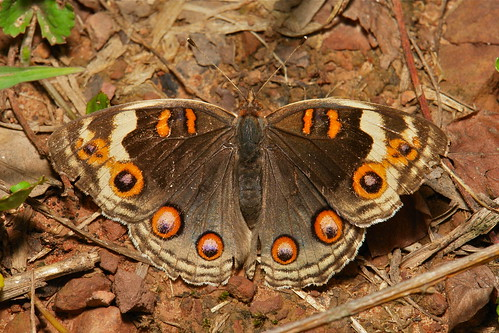 Blue Pansy (Junonia orithya), brown form