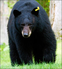 grizzly bear(0.0), sloth bear(0.0), brown bear(0.0), animal(1.0), american black bear(1.0), mammal(1.0), fauna(1.0), bear(1.0), wildlife(1.0),