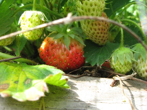 Bumble Lush strawberry patch