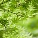 green leaf by mikiyo*
