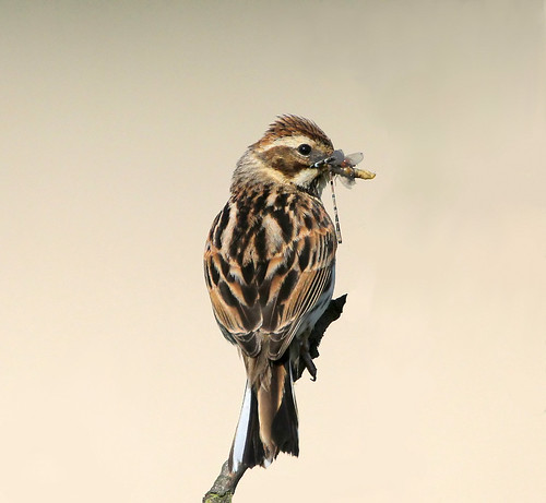 Reed Bunting with breakfast.