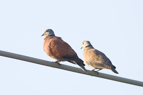 Red-collared Dove