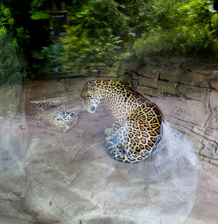 The Zoo. Jaguars.