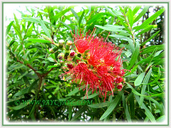 Callistemon citrinus (Red Bottlebrush, Crimson Bottlebrush or Lemon Bottlebrush), growing in Genting Highlands Resort