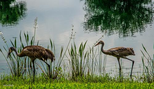 ranch lake birds walking florida lakewood wading sandhillcranes odc nikond7000 afsnikkor18105mm13556g bgdl lightroom5
