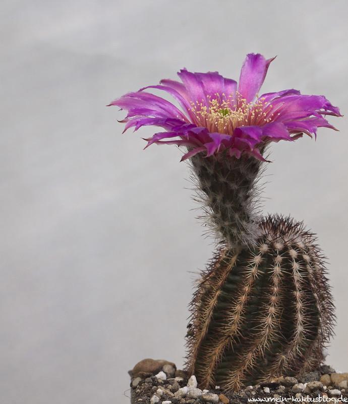 Echinocereus reichenbachii ssp. perbellus SB206