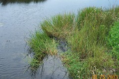 Everglades National Park  alligator in grass