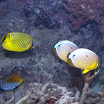 four butterflyfishes of three species