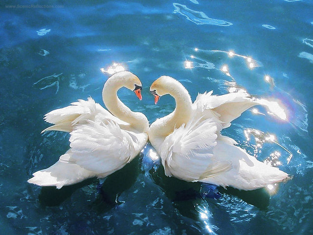 Swan heart desktop wallpaper simply beautiful flickr - Swan wallpapers for desktop ...