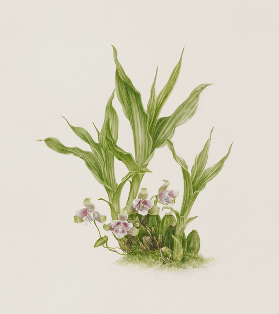 "Angela Mirro, Lycaste angela, 2010. Orchid collection. Watercolor on Fabriano Artistico 300lb. hot press. 17"" x 15""."