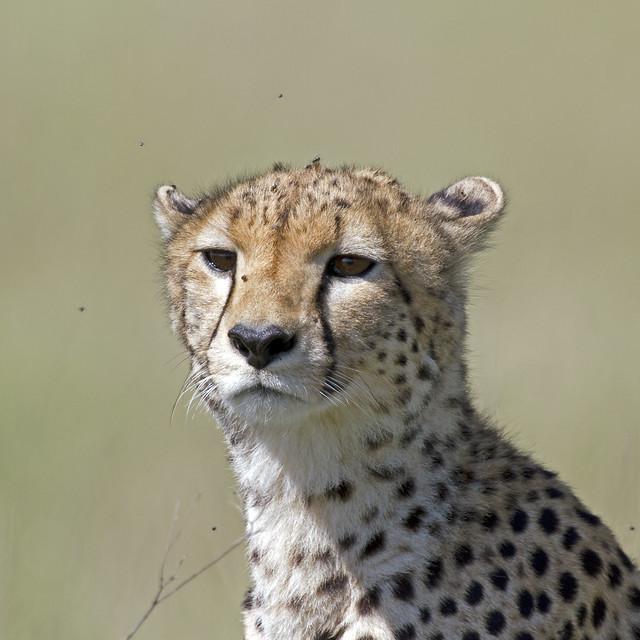 Female Cheetah closeup
