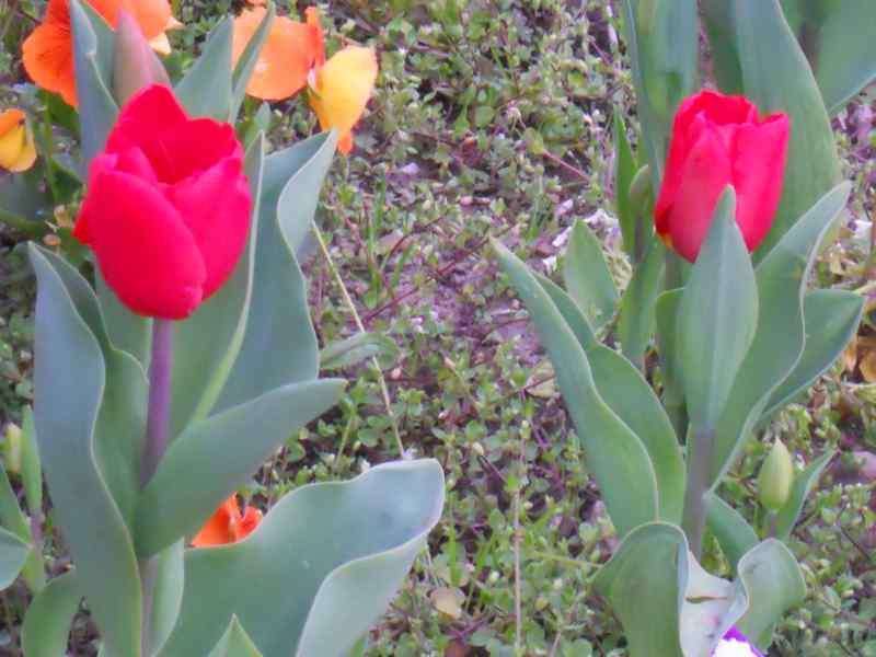 Tulipa darwin 2