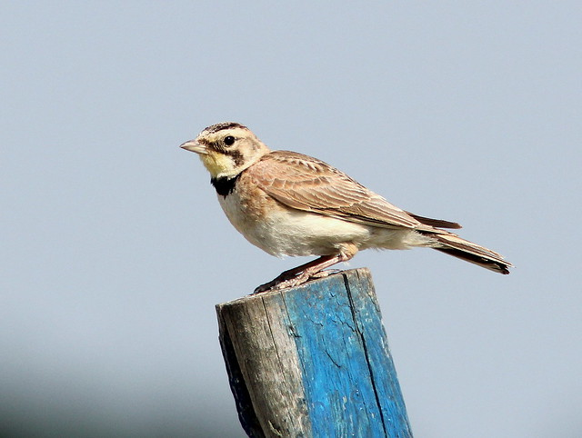 Horned Lark female 20110706