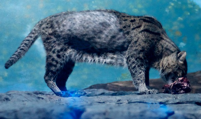 Fishing Cat Snack