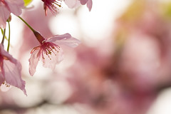 [Free Images] Flowers / Plants, Cherry Blossoms ID:201204200600