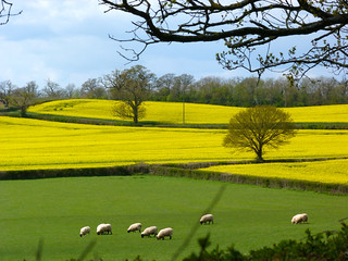 white sheep , green and  yellow fields