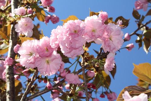 麒麟桜 (麒麟櫻)