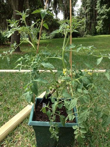 Tomato Disease ID help 7182523756_05caef839d
