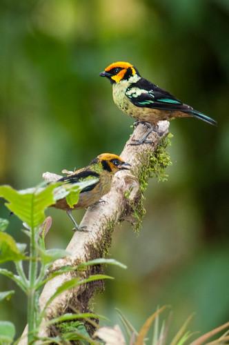 birds animals ecuador animalia vertebrates pichincha thraupidae tanagers flamefacedtanager tangaraparzudakii