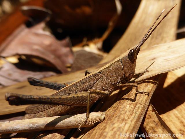 35 Bukit Serumbu Unidentified Bamboo Grasshopper
