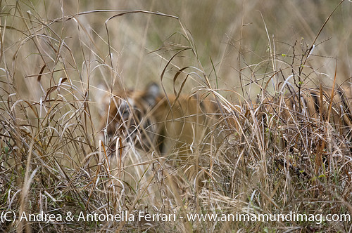 reefwondersdotnet posted a photo:	The Stalker in the Grass... a Spotted deer's view of a prowling tigress, Tadoba NP, Maharashtra, India.