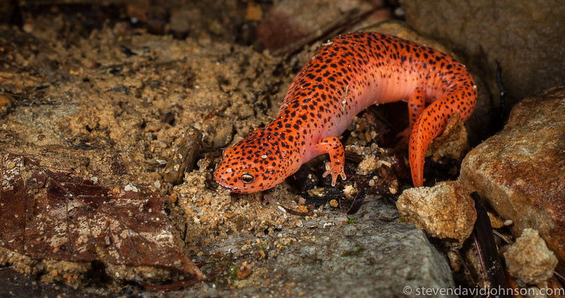 Red Salamander, Jefferson National Forest, Virginia