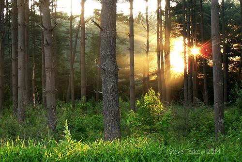 morning trees light plants nature rural forest sunrise landscape dawn countryside scenery pines goldenhour cornflower oakopenings toledometroparks