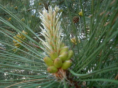 larch, flower, branch, pine, leaf, tree, flora, conifer cone, fir, spruce, twig,