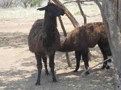 alpaca(0.0), llama(0.0), arabian camel(0.0), animal(1.0), fauna(1.0), camel-like mammal(1.0), wildlife(1.0),