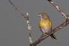 vite-vite (Hylophilus thoracicus)