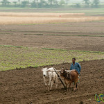 Oxes Used to Plow Land - Rural Bangladesh