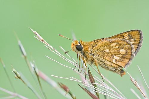 Skipper butterfly <i>Taractrocera ardonia lamia </i>IMG_6930 copy