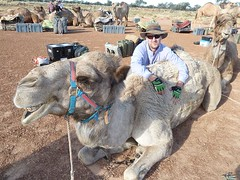 animal, pack animal, camel, arabian camel,