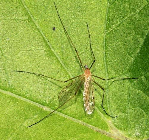 Limonia phragmitidis 27410