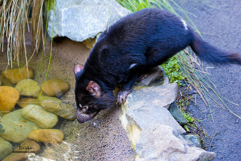 Small tasmanian devil drinking water