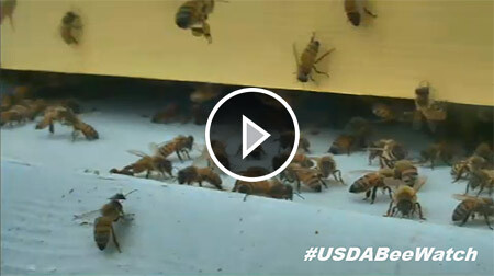 Click to visit the USDA's 24/7 bee watch camera.