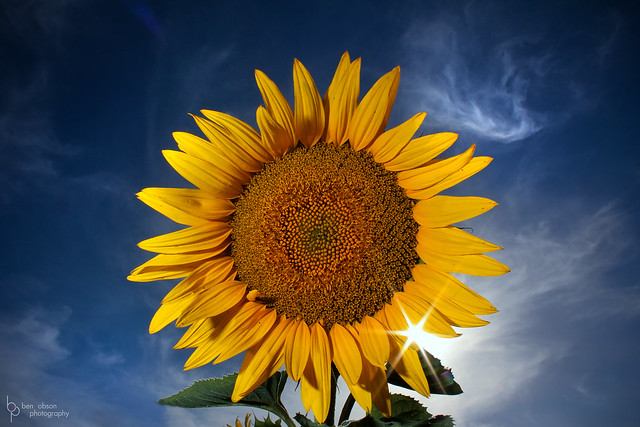 Ben Robson - Sun and Sunflower - HUGE thanks for Explore! :)