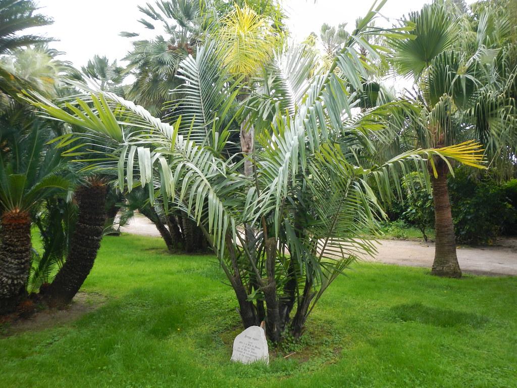 Le forum des fous de palmiers ag 2014 nice menton 25 for Jardin 3 marias