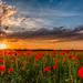 Poppy Sunset II by Achim Thomae
