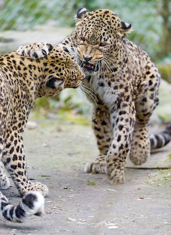 Fighting Persian leopards II