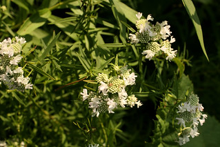 Narrow-leavedMountainMint