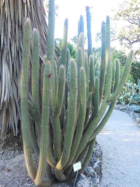 Cleistocactus tupizensis v 2